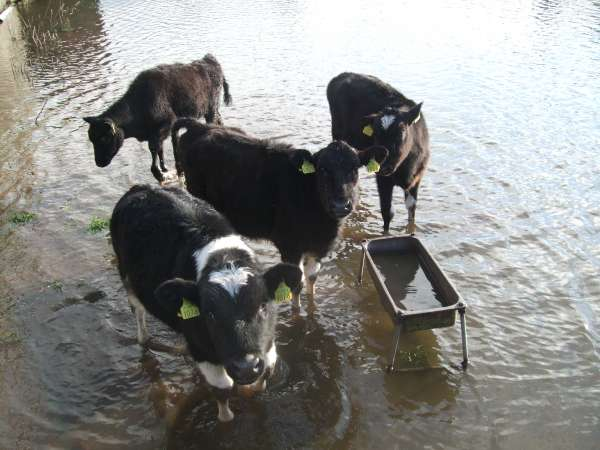 These calves didn't like the look of the watery breakfast in store for them.
