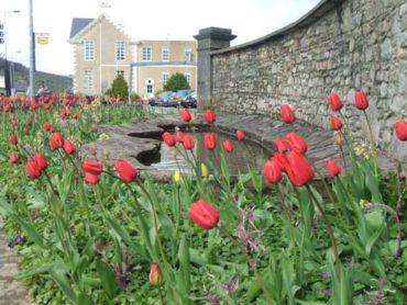 Millstreet library tulips