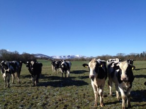 2013-03-11 Heifers in brilliant sunshine with snow in on the hills, at Coolfield House B&B