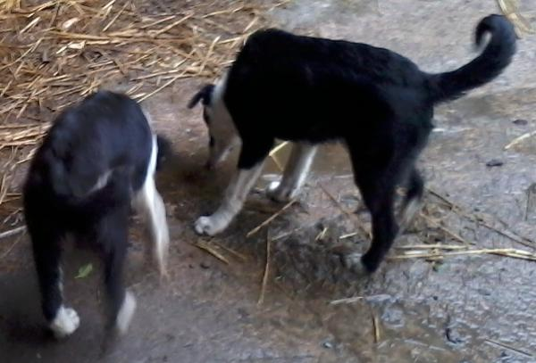 2013-03-26 Sheepdog Pups lost in Adrivale