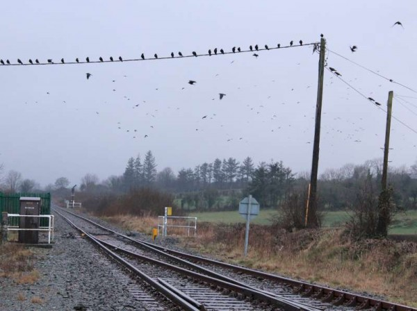 These crows, photographed this evening near Millstreet Railway Station, appear to be waiting for a train!  (S.R.)