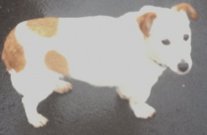 2013-10-24 This Jack Russell was lost on Clara yesterday