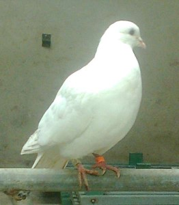 2014-03-23 lost White Pigeon-