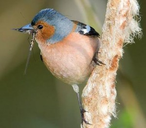 the male chaffinch