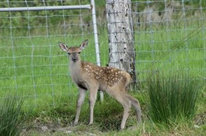2014-05-29 Baby Deer at Millstreet Country Park - name the deer this weekend