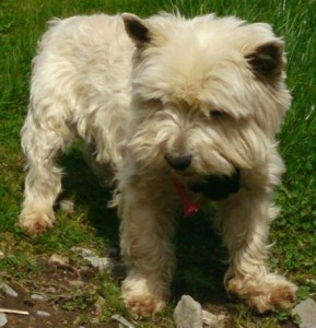 2015-01-05 West Highland terrier - Missing from Kilcorney - Rathcoole area_