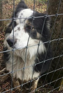 2015-02-26 sheepdog lost