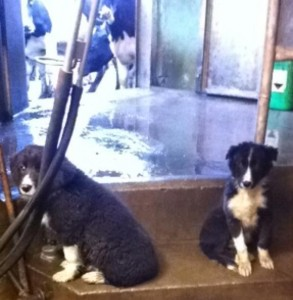 2015-03-03 Sheepdog Puppies for Sale 01