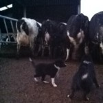 2015-03-03 Sheepdog Puppies for Sale 02