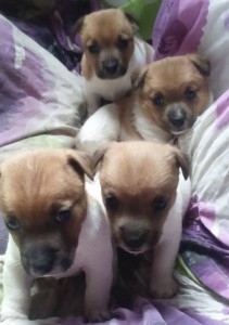 2015-05-06 Terrier pups for sale