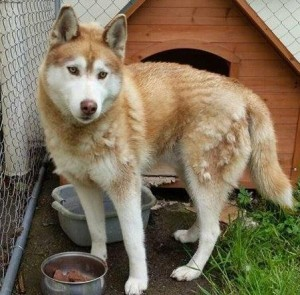 2015-05-28 Huskey found near Derinagree School