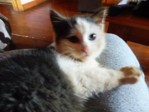 2015-12-20 Young tame and playful cat found outside Millstreet