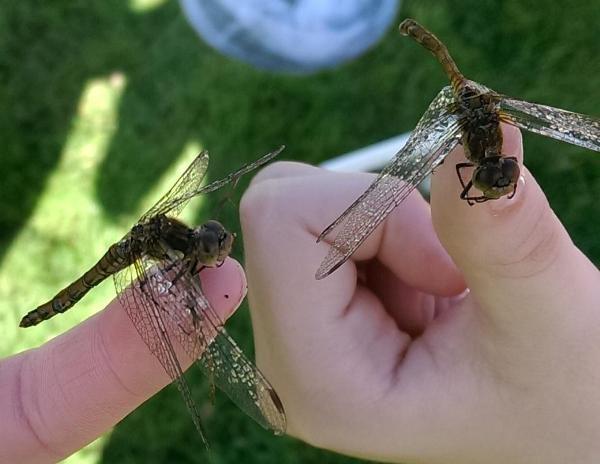 dragonflies_rsz
